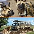 Lion and Safari