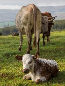 cow-with-calf