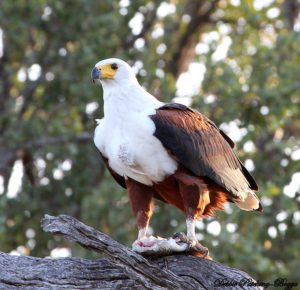 The Springbok Lodge eagle