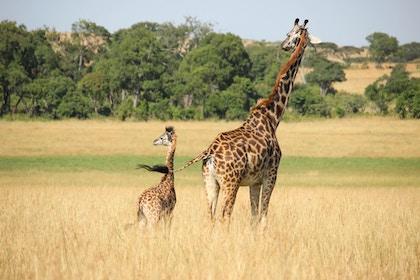 FCT - Giraffe