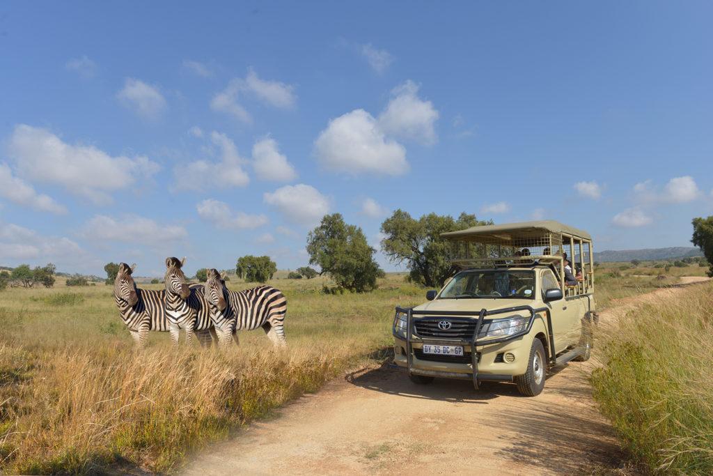 a guided tour among zebra