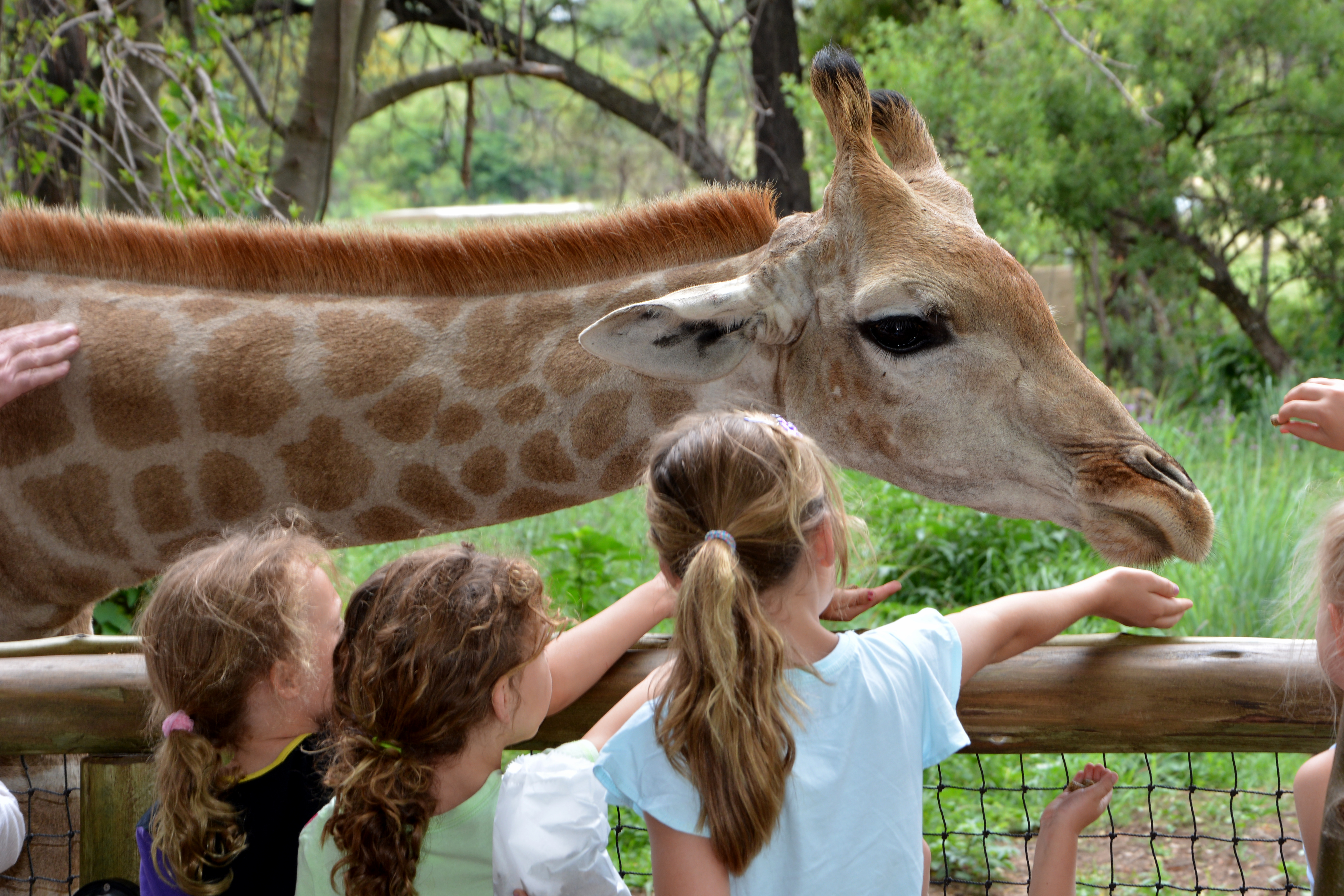 Children interacting with a giraffe