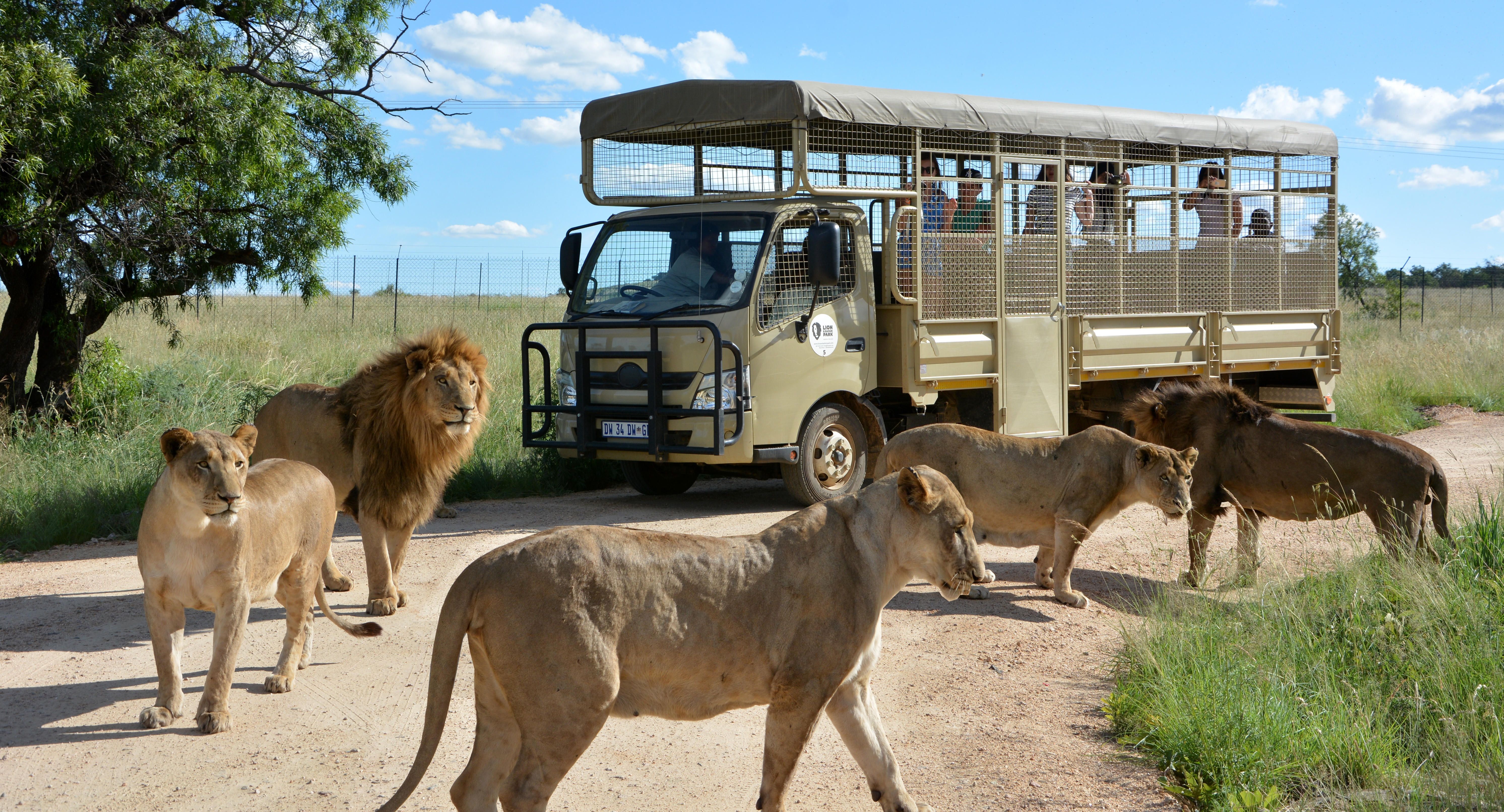 Lions at SA lion & safari park