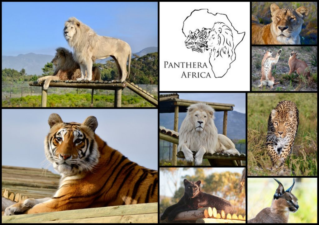Panthera Africa collage